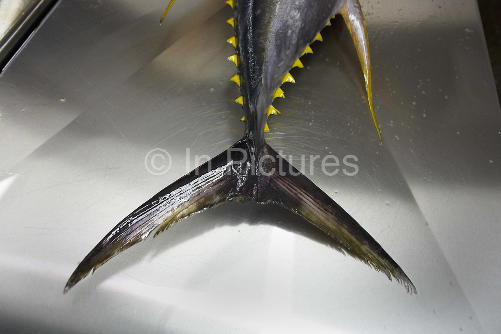 The tail and sharp barbs of a freshly-caught yellow fin tuna fish lies inert on a filleting table at a refrigerated processing factory on Himmafushi island, Maldives. The 50kg carcass has been swimming across the Indian Ocean non-stop since birth and just line-caught by freelance boat crews who share profits for only high-quality fish that passes stringent health tests. The tuna has been in ice since being landed at sea to keep a low-temperature body core so the workers cut out the prime flesh as quickly as possible before boxing the resulting chunks of steak for export by air to Europe and in particular for customers such as UK's Sainsbury's supermarket. The filleting is performed by Sri Lankan ex-fishermen and widowers, having lost their families during the Tsunami. Using sharp knives, they skillfully remove valuable meat and throw the rest.