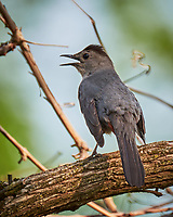 Gray Catbird. Image taken with a Fuji X-T1 camera and 100-400 mm OIS lens.