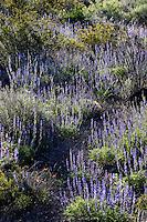 Big Bend Bluebonnet (Lupinus havardii) at Big Bend Bend Ranch State Park, Texas