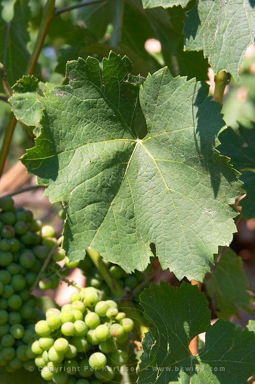 Grape bunch of the local grape variety Shesh. a vine leaf. Cobo winery, Poshnje, Berat. Albania, Balkan, Europe.