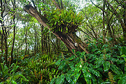 Invasive kahili ginger (Hedychium gardnerianum) dominates the understory while native Elaphoglossum ferns (Elaphoglossum sp.) grow on a tree along the Pihea Trail, Kokee State Park, Kauai, Hawaii.
