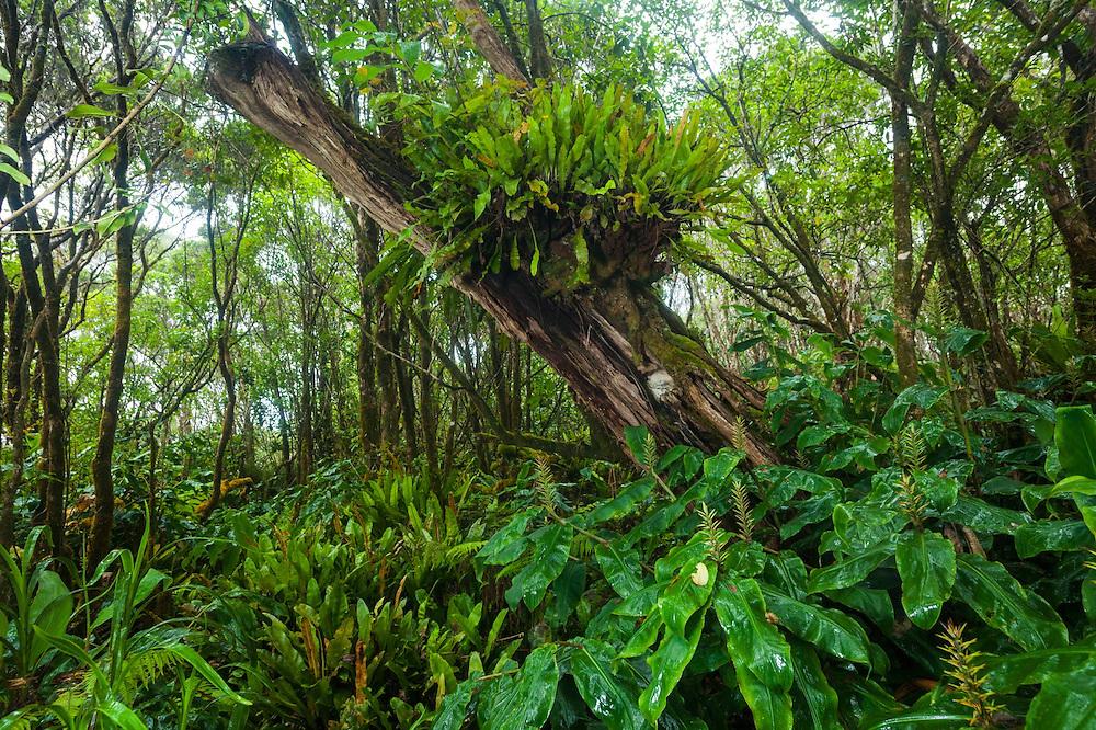 Invasive kahili ginger (Hedychium gardnerianum) dominates the understory while native Elaphoglossum ferns (Elaphoglossum sp.) grow on a tree along the Pihea Trail, Kokee State Park, Kauai, Hawaii.