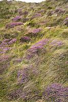 BALMEDIE - Aberdeenshire - Schotland. Heide op de Trump International Golf Links. COPYRIGHT KOEN SUYK