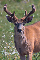 Black-Tail Deer buck (Odocoileus hemionus columbianus) on Hurricane Ridge - Olympic National Park, Washington, USA