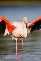 Greater Flamingo (Phoenicopterus roseus) in lagoon, spreading wings, Pont Du Gau, Camargue, France