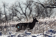 Mature whitetail buck in snowy autumn habitat
