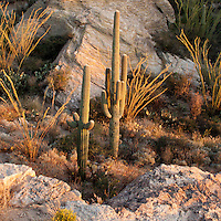 Saguaro National Park, Tucson. Saguaro cactus in the warm light of the setting sun.
