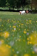 Cows at a farm near Col de la Faucille in the Jura region of France