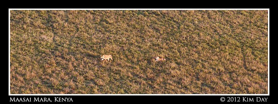 Lionesses on the hunt.Maasai Mara, Kenya.September 2012