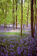 Bluebells in wood in  Buckinghamshire, England