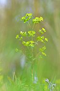Wood Spurge - Euphorbia amygdaloides
