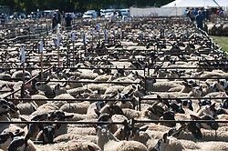 © Licensed to London News Pictures. 13/09/2019. Llanelwedd, Powys, UK. There are 10,500 mules at the auction. The auction of Welsh mule sheep gets under way at Llanelwedd in Powys, Wales, UK. The commercial breeding Welsh mule ewe is a cross between a Blue-faced Leicester ram and either a Beulah speckled faced  ewe or a Welsh mountain ewe. Photo credit: Graham M. Lawrence/LNP