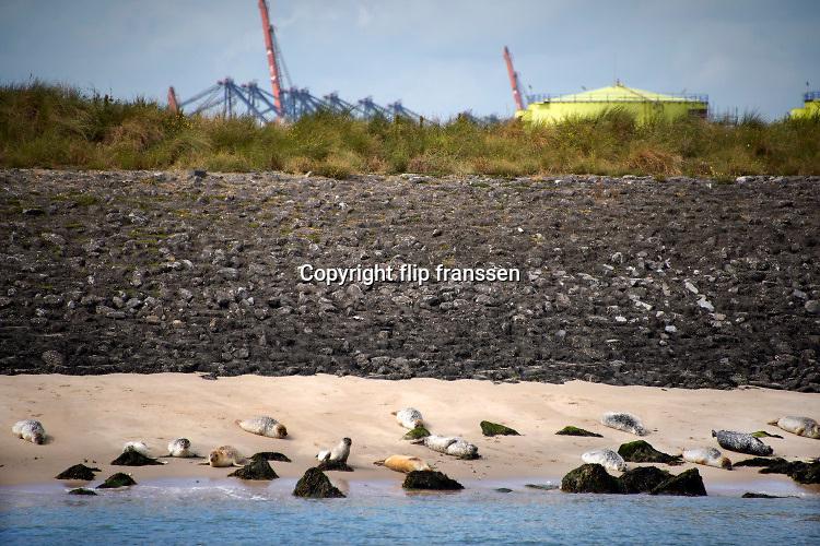 Nederland, Hoek van Holland, 3-9-2019 Een groepje zeehonden waaronder enkele pups, jongen, ligt te rusten op de oever van de Nieuwe Waterweg . Op de achtergrond de maasvlakte.Foto: Flip Franssen
