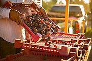 Dates being transferred into trays in a Arizona  date grove shot on a Canon 5D Mark III