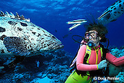 diver and giant potato cod, Epinephelus tukula, The Cod Hole, northern Great Barrier Reef, Australia ( Coral Sea, Western Pacific Ocean ) MR 168