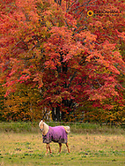 Horse in pasture below sugar maple near Chassell in the Upper Peninsula of Michigan, USA