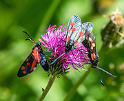 Six-spot Burnet moths (Zygaena filipendulae, a black insect with 6 red wing spots, in the Zygaenidae family) sip nectar from a Knapweed (Centaurea) flower. Hike the dramatic Sentier des Chamois from Verbier, in Switzerland, the Alps, Europe.