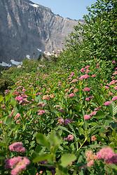 Rose Meadowsweet, Glacier National Park, Montana, US