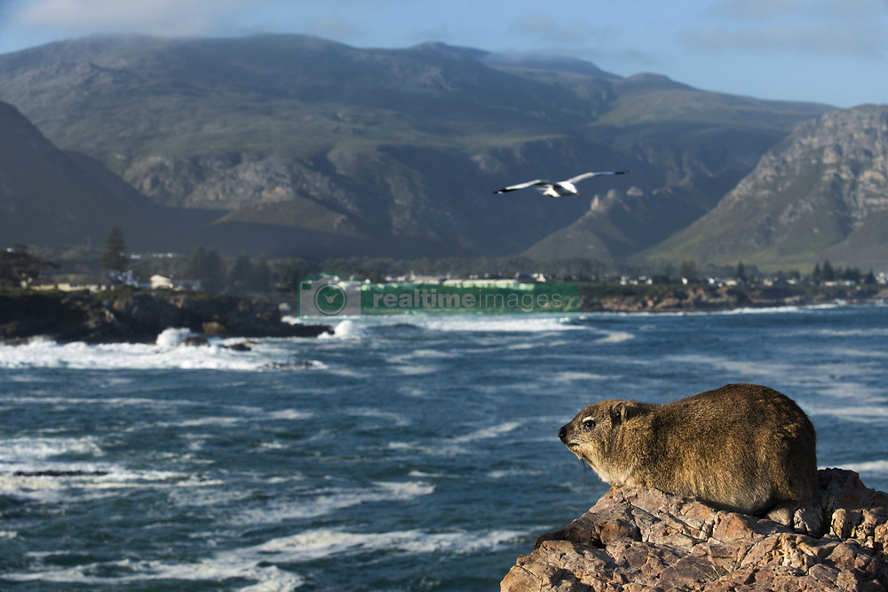 September 30, 2018 - South Africa - Rock hyrax or rock badger (Procavia capensis) in Hermanus and Walker Bay, Western Cape, South Africa (Credit Image: © Sergi Reboredo/ZUMA Wire)