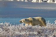 01874-12319 Polar bear (Ursus maritimus) walking near a frozen pond, Churchill Wildlife Management Area, Churchill, MB Canada