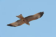 Yellow Billed Kite, Milvus aegyptius, Ifaty, Madagascar, in flight along coastline