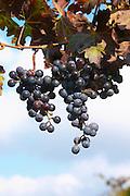 Domaine Borie la Vitarèle Causses et Veyran St Chinian. Languedoc. Bunch of Grapes. France. Europe.