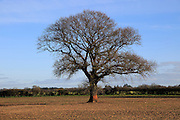 Leafless oak tree standing in field in winter, Shottisham,  Suffolk, England, UK