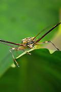 Harlequin beetle (Acrocinus longimanus), Mashpi reserve, Ecuador, South America