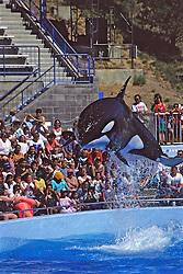 Orca Performing at Marine World