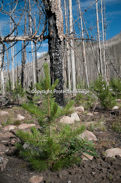 A lodgepole pine tree grows in the burn area of the 2005 Valley Road fire in the Sawtooth National Forest, Idaho. 40,800 acres with a lot of  pine beetle killed trees burned in the fire that started on September 3rd, 2005.