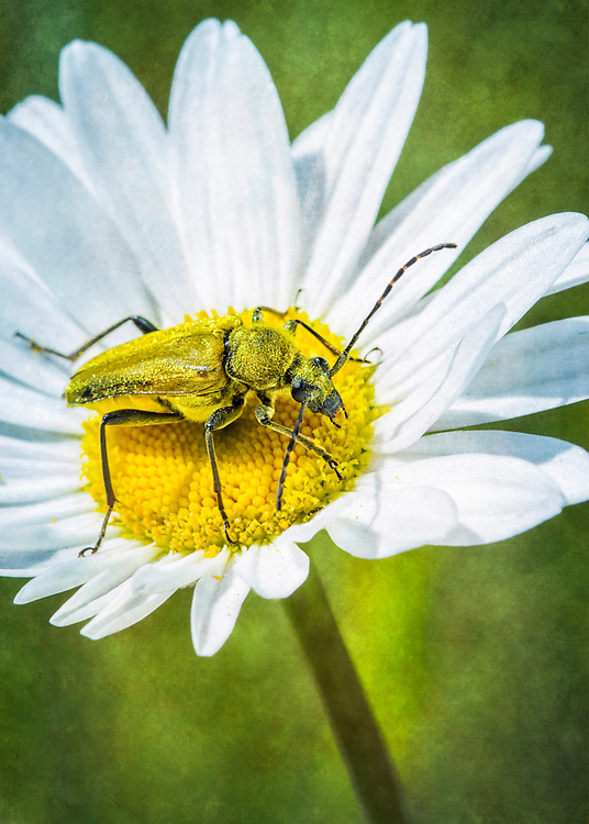 A Golden Longhorn beetle tries to camouflage himself in the middle of the daisy