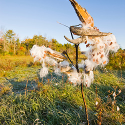 Milkweed in a hay field at the Clark Farm in Windham, Maine.