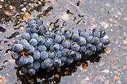 Harvested grapes. Cabernet Franc. Chateau Reignac, Bordeaux, France