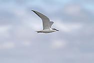 Gull-billed Tern - Geochelidon nilotica