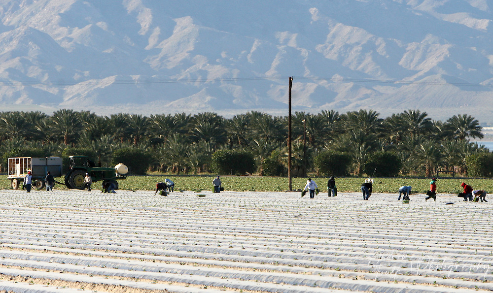 Field workers pick crops near the north end of the Salton Sea.