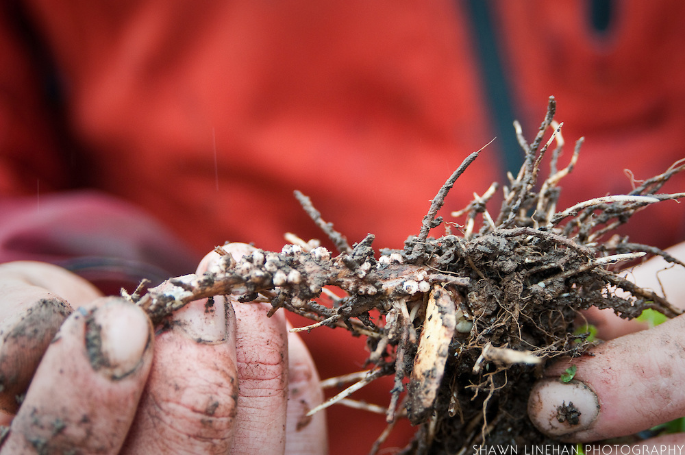 The little, white, small bead type growths are the rhizobia.