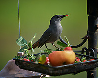 Gray Catbird. Image taken with a Nikon D5 camera and 600 mm f/4 VR telephoto lens (ISO 360, 600 mm, f/5.6, 1/1250 sec).
