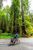 Bicyclist passing through the Redwood forests along the Newton B. Drury Scenic Parkway in Prairie Creek Redwoods State Park, part of Redwood National and State Parks, Northern California USA.