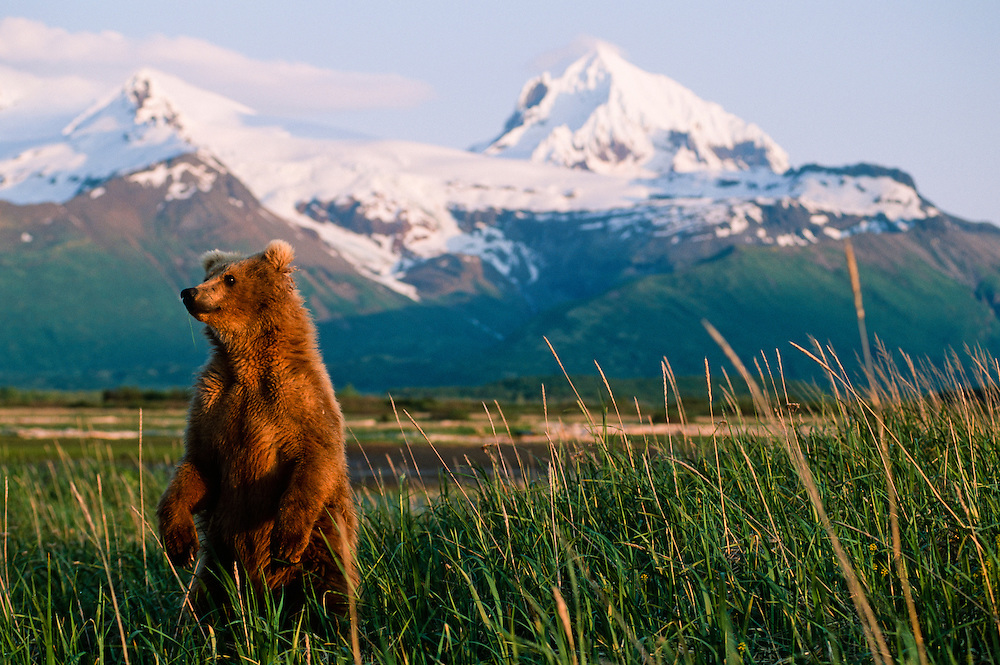 Alaskan grizzly bear standing on its hind legs to get a better view of the environment and appraching dangers.