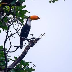 Tucano-de-bico-preto (Ramphastos vitellinus) fotografado no Parque Nacional da Chapada dos Veadeiros - Goiás. Bioma Cerrado. Registro feito em 2015.<br /> ⠀<br /> ⠀<br /> <br /> <br /> <br /> <br /> <br /> ENGLISH: Channel-billed Toucan photographed in Chapada dos Veadeiros National Park - Goias. Cerrado Biome. Picture made in 2015.