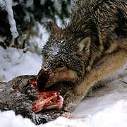 Gray Wolf, (Canis lupus) Feeding on Mule deer carcass. Captive Animal.