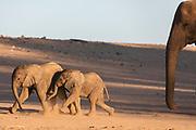 A breeding herd of desert elephants and two playful young calves (Loxodonta africana cyclotis) walking through the sandy Hoanib river bed, Skeleton Coast, Namibia