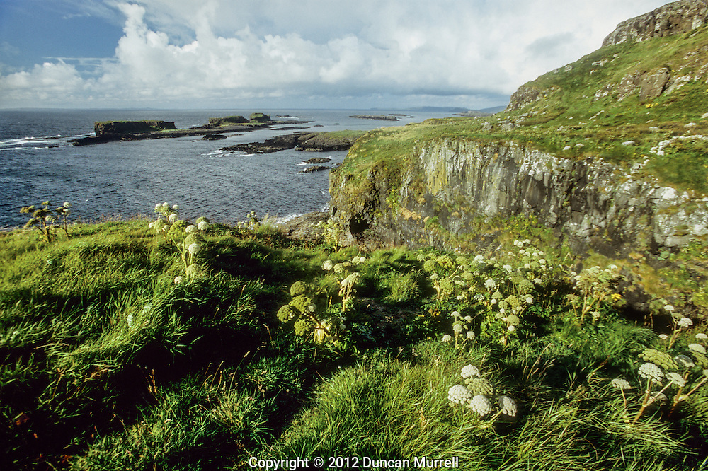 A patch of wild celery on the northwest side of Isle of Lunga looking northwards towards the offshore skerries.