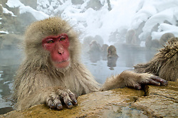 A snow monkey resting in a hot spring looks out in Shiga Kogen, Japan.
