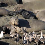 Northern Elephant Seal, (Mirounga angustirostris)  Female and newborn pup. Gulls surrounding to consume afterbirth. California.