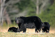01872-00604  Black Bear (Ursus americanus) female with cubs (2) Great Smoky Mountains NP  TN