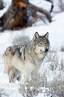 Wild wolf in Yellowstone National Park, Wyoming, USA