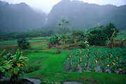 Taro Field, Wailua, Hana Coast, Maui<br />