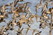 Shore Birds in flight - mostly Marbled Godwits & Dowitchers.(Limosa fedoa & Limnodromus sp.).Back Bay, California