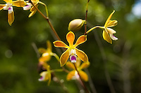 Close-up of the butterfly orchid deep in the Florida Everglades in Miami-Dade County.